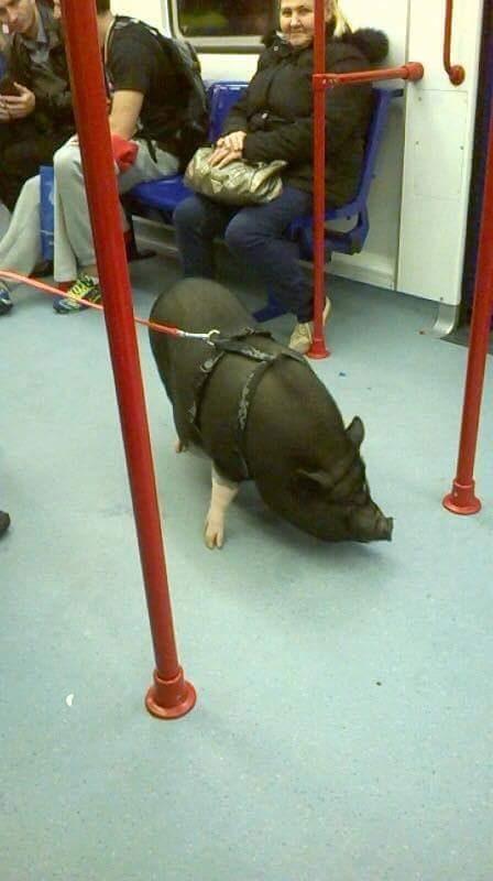 「地下鉄に豚」