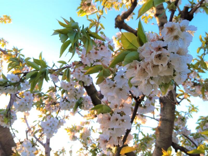 見て食べて二度おいしい、北イタリアの桜の名所